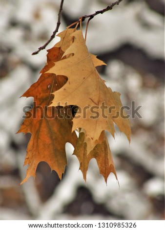Dry autumn leafage in the snow #1310985326