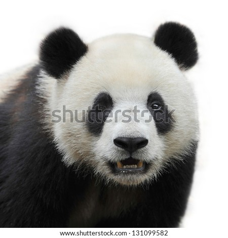 Eye winking panda bear isolated on white background #131099582