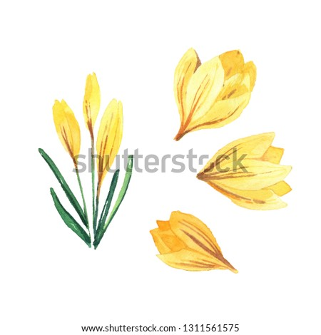 Spring set with watercolor crocuses. Spring bright flowers isolated on white background for textiles, cards, packaging.