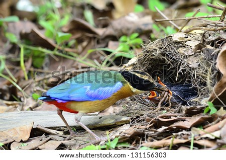 Blue-winged Pitta is feeding its chickens in the nest #131156303