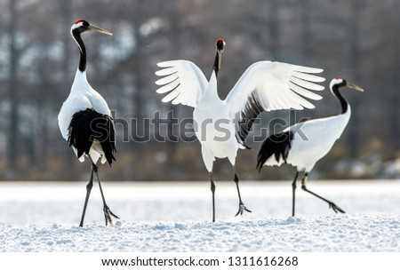 Dancing Cranes. The ritual marriage dance of cranes. The red-crowned crane. Scientific name: Grus japonensis, also called the Japanese crane or Manchurian crane, is a large East Asian Crane. #1311616268