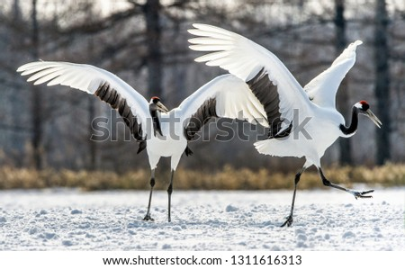 Dancing Cranes. The ritual marriage dance of cranes. The red-crowned crane. Scientific name: Grus japonensis, also called the Japanese crane or Manchurian crane, is a large East Asian Crane. #1311616313