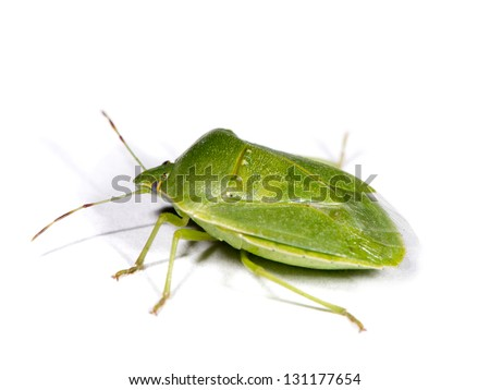 Green stink bug (Nezara viridula). Spanish: Chinche Verde