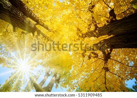 The Ginkgo tree (Ginkgo biloba), also known as the ginkgo or gingko #1311909485