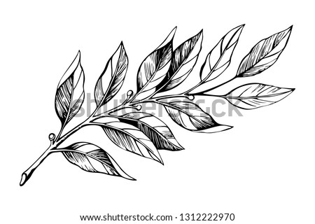 Laurel branch sketch. Botanical illustration, a branch of a plant with leaves. Hand drawn liner. #1312222970