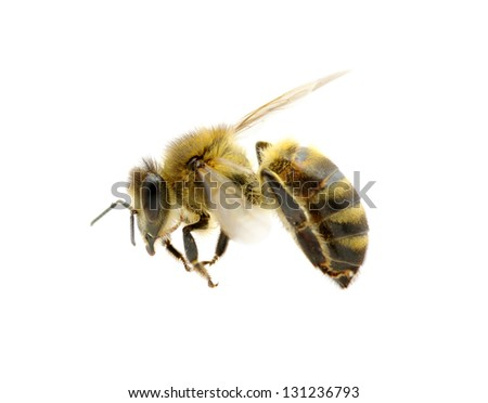 bee isolated on the white #131236793