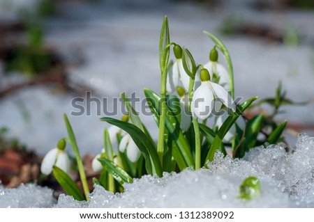 Beautifull snowdrop flower growing in snow in early spring forest. Tender spring flowers snowdrops harbingers of warming symbolize the arrival of spring #1312389092