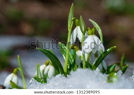 Beautifull snowdrop flower growing in snow in early spring forest. Tender spring flowers snowdrops harbingers of warming symbolize the arrival of spring #1312389095