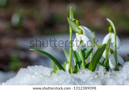 Beautifull snowdrop flower growing in snow in early spring forest. Tender spring flowers snowdrops harbingers of warming symbolize the arrival of spring #1312389098