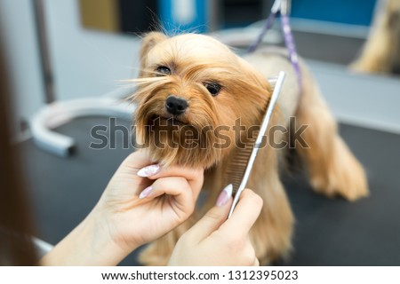 Grooming animals, grooming, drying and styling dogs, combing wool. Grooming master cuts and shaves, cares for a dog. Beautiful Yorkshire Terrier #1312395023