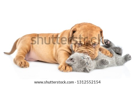 Playful Bordeaux puppy kisses kitten. isolated on white background #1312552154