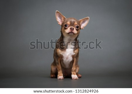 chihuahua puppy on a gray background studio photo