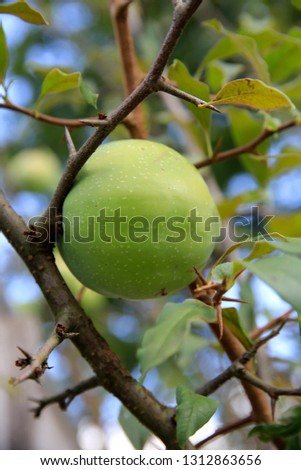 Quince plant with fruits  #1312863656