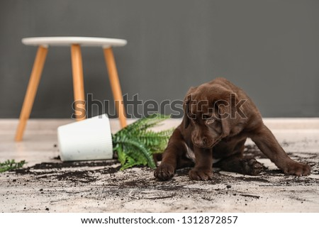 Chocolate Labrador Retriever puppy with overturned houseplant at home #1312872857