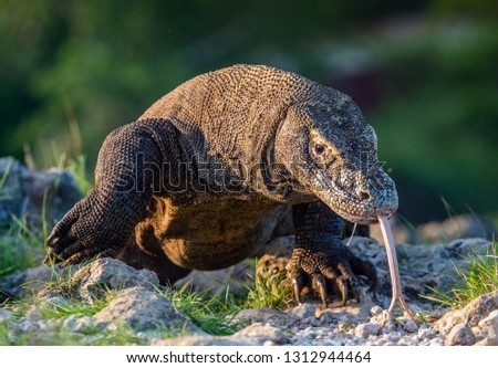 Komodo dragon sniffs the air with his forked tongue.. Scientific name: Varanus komodoensis. Biggest in the world living lizard in natural habitat. Island Rinca.