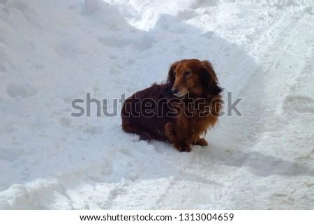 Beauty dog long haired dachshund  #1313004659