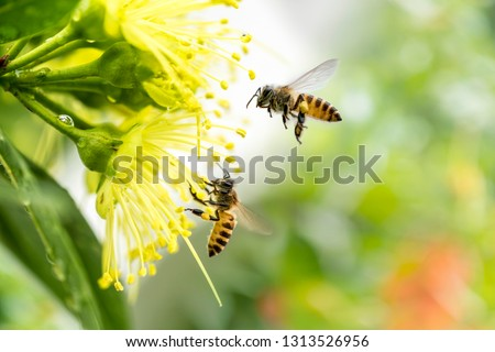 Flying honey bee collecting pollen at yellow flower.Bee flying over the yellow flower #1313526956