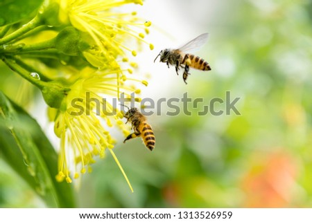 Flying honey bee collecting pollen at yellow flower.Bee flying over the yellow flower #1313526959