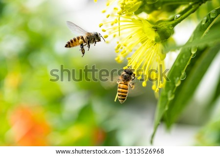 Flying honey bee collecting pollen at yellow flower.Bee flying over the yellow flower #1313526968