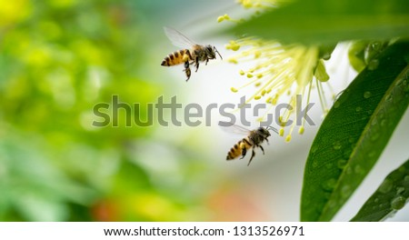 Flying honey bee collecting pollen at yellow flower.Bee flying over the yellow flower #1313526971