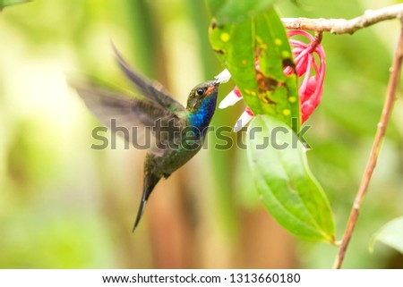 White-tailed hillstar hovering next to white and red flower, garden, tropical forest, Colombia, bird on colorful clear background,beautiful hummingbird with blue throat and outstretched wings #1313660180