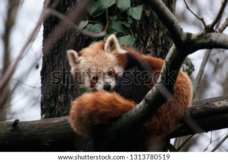 Red panda (Ailurus fulgens) sitting on a tree branch looking at camera behind its soft tail. La Torbiera faunistic park, Italy. #1313780519