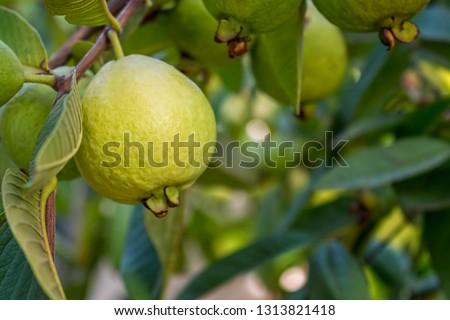 Ripe Tropical Fruit Guava on Guava Tree. Psidium Guajava #1313821418