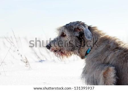 irish wolfhound dog at winter field #131395937