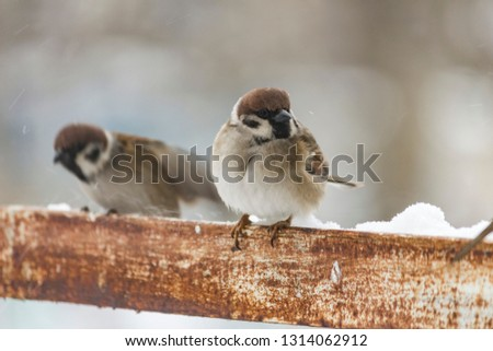sparrows sit on a metal corner on a snowy day #1314062912