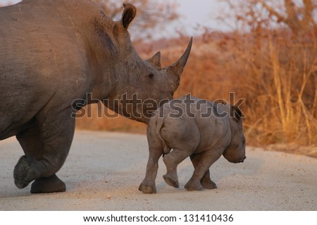Photos of Africa, White Rhino with calf in road
