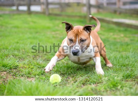A playful red and white Pit Bull Terrier mixed breed dog with a ball #1314120521