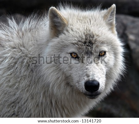 Close-up picture of an arctic wolf