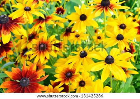 Rudbeckia flowers in the garden #131425286