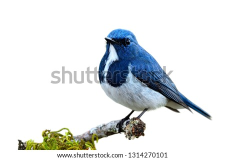Ultramarine or white-browed blue flycatcher (Ficedula superciliaris) cute little blue and white bird living on pine wood stick isolated on white background, fascinated wild animal #1314270101