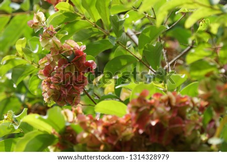 Tripterygium wilfordii or thunder god vine #1314328979