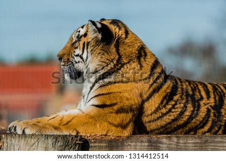 Tiger laying dow surveying his surroundings. #1314412514