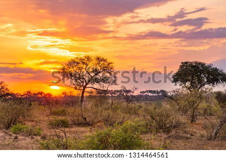 Impala at sunset #1314464561