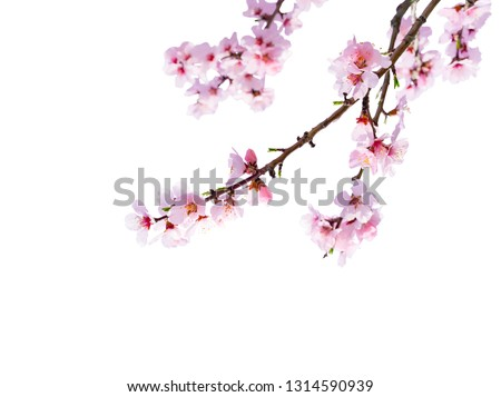 Cherry blossom isolated in front of white background #1314590939