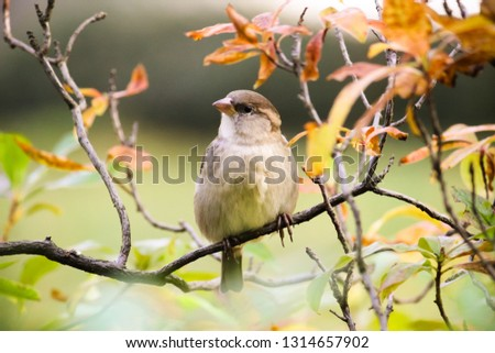 Sparrow bird sitting on tree branch. Sparrow songbird (family Passeridae) sitting and singing on tree branch amidst yellow and green leaves close up photo. Bird wildlife scene.