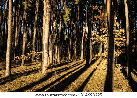 Pine forest with long shadows #1314698225