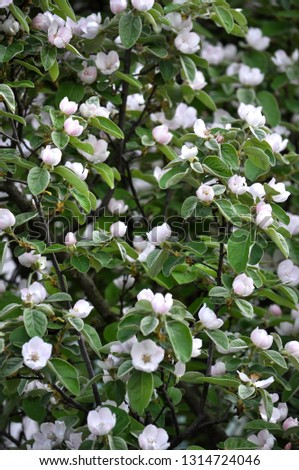 Spring flowering of quince. The plant is used in folk medicine, both decorative and in the food industry #1314724046