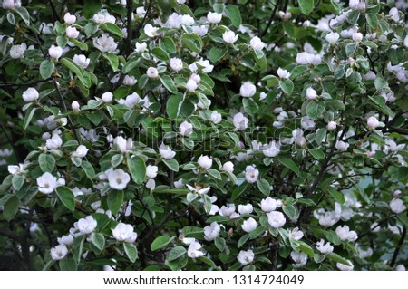 Spring flowering of quince. The plant is used in folk medicine, both decorative and in the food industry #1314724049