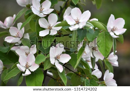 Spring flowering of quince. The plant is used in folk medicine, both decorative and in the food industry #1314724202