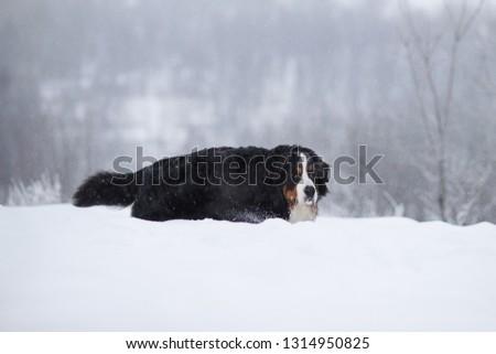 Berner Sennenhund big dog on walk in winter landscape, with snow #1314950825