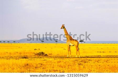 Giraffe in savannah. Savannah giraffe silhouette. Giraffe in nature. Giraffe landscape #1315059629