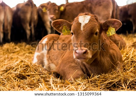 Beef-Cattle Calfs resting in straw in the barn Royalty-Free Stock Photo #1315099364