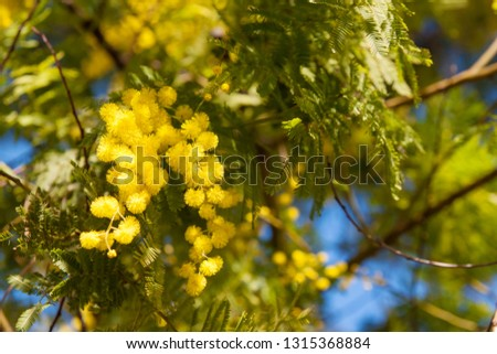Beautiful spring flowers on mimosa tree branch (acacia dealbata) on background of green foliage and blue sky,  spring background, Women's day, Easter #1315368884