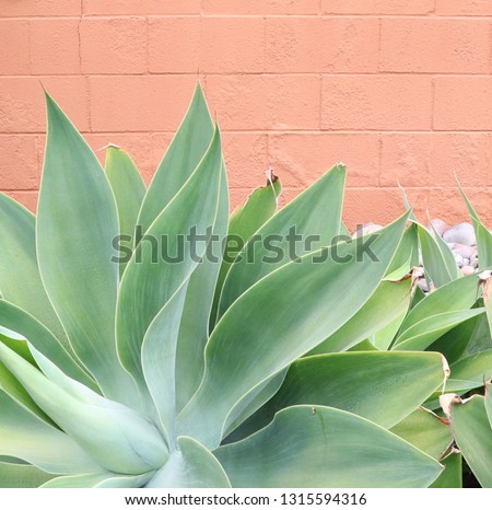 Agave and peach wall #1315594316