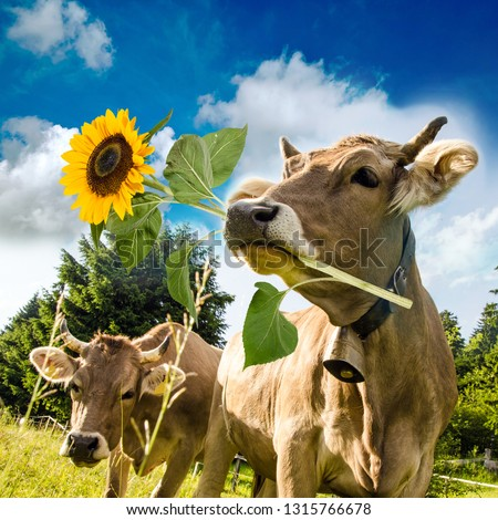 Brown cow with flower in muzzle. Beautiful flower meadows of central Switzerland and blue sky in the background. Greeting card for Valentine's Day, Woman's Day, Mother's Day, or other congratulation. #1315766678