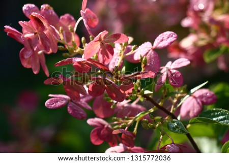 Petals of flowers of a hydrangea are painted in dark tone of pink color. On leaves and flowers morning dew sparkles. #1315772036